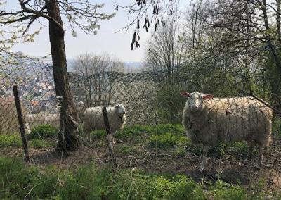 13 - Vous verrez sans doute ces moutons